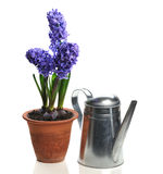 Blue hyacinth in ceramic pot Stock Photography