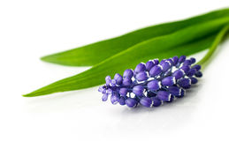 Blue hyacinth close up Stock Photography