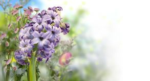 Blue hyacinth and defocused colorful flowers in spring garden stock image