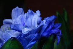 Blue hyacinth drop close-up flower black background spring. Blue hyacinth drop close-up black background spring macro green leaf stock photo