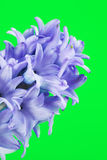 Blue Hyacinth Flower stock image