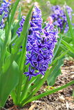 Blue Hyacinth Flower Royalty Free Stock Photo