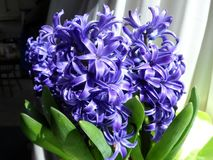Blue hyacinth flower by a sunny window royalty free stock image