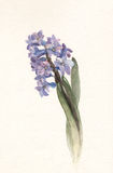 Blue hyacinth flower watercolor painting. The hand drawn watercolor of a blue hyacinth flower Royalty Free Stock Photo