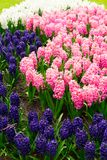 Blue hyacinth flowerbed. Blue and pink and white hyacinth flowerbed background close up Stock Photography