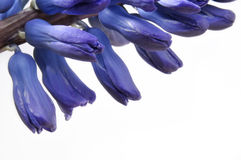 Blue Hyacinth flowers Royalty Free Stock Photo