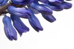Blue Hyacinth flowers Royalty Free Stock Photo