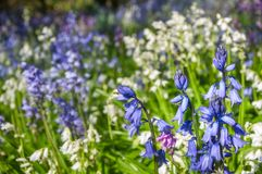 Blue Hyacinth Flowers at a Botanic Garden in Australia. Blue and white hyacinth flowers on a bokeh light background in spring at Mount Tomah Botanic Garden, Blue royalty free stock photo