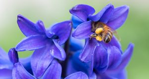 Blue Hyacinth Flowers. Close up. Macro photo of garden flowers. Bee Pollinating a Flower royalty free stock photography