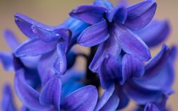 Blue Hyacinth Flowers. Close up. Macro photo of garden flowers royalty free stock image