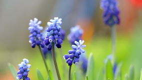 Blue hyacinth flowers close up. Muscari stands on wind and bee around stock video