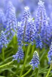 Blue hyacinth flowers in closeup stock images