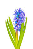 Blue hyacinth flowers isolated on white Stock Image
