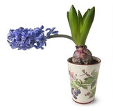 Blue hyacinth flowers in pots Royalty Free Stock Photos