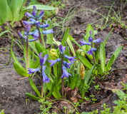 Blue hyacinth  in a garden in early spring Royalty Free Stock Images