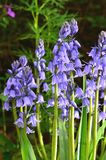 Blue hyacinth. S in spring garden Royalty Free Stock Photography