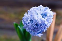 Blue hyacinth Hyacintus orientalis in flowerpot. Wooden background. Blue hyacinth Hyacintus orientalis in flowerpot on wooden background royalty free stock photos