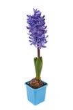 Blue Hyacinth isolated Stock Photo