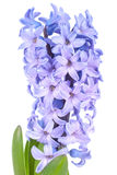 Blue hyacinth Royalty Free Stock Images