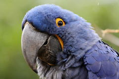 Blue Hyacinth Macaw Stock Photo
