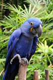 Blue Hyacinth Macaw. Parrot standing on bamboo Stock Photos