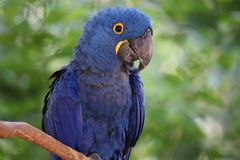 The blue hyacinth macaw royalty free stock images
