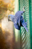 Blue Hyacinth macaw parrot Stock Image