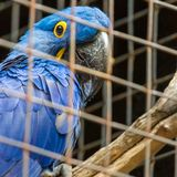Blue Hyacinth macaw parrot in zoo. Royalty Free Stock Photography