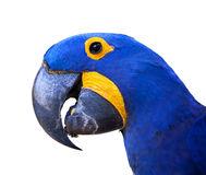 Blue hyacinth macaw Stock Image