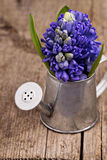 Blue hyacinth in a metal watering can Royalty Free Stock Images