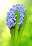 Blue Hyacinth Stock Images