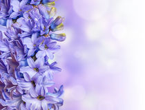 Blue Hyacinth On Colored Stock Images