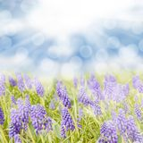 Blue hyacinth Royalty Free Stock Photography