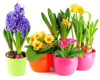 Blue hyacinth, pink primulas, yellow daffodils Royalty Free Stock Photos