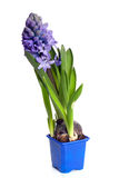 Blue hyacinth in the pot. Isolated on white background stock images