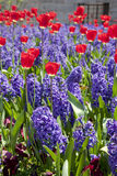 Blue hyacinth and red tulips Royalty Free Stock Photos