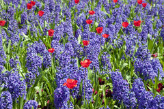 Blue hyacinth and red tulips Royalty Free Stock Photography