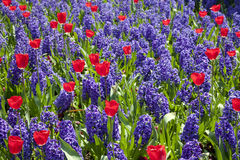 Blue hyacinth and red tulips Royalty Free Stock Photo