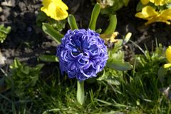 Blue hyacinth - top view stock photos