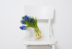 Blue hyacinth in a vase Royalty Free Stock Image