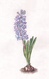 Blue hyacinth watercolor painting Royalty Free Stock Photography