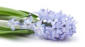 Blue hyacinth. Blue hyacinth on a white background stock photos