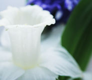 Blue hyacinth and white narcissus Stock Image