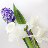 Blue hyacinth and white narcissus Royalty Free Stock Photo