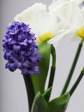 Blue hyacinth and white narcissus Stock Photo