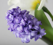 Blue hyacinth and white narcissus Stock Photography