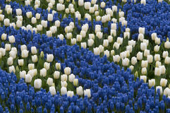 Blue hyacinth and white tulips Stock Image