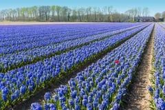 Blue Hyacinthe bulb field Stock Image