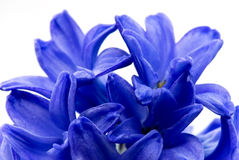 Blue hyacinthe flower.close up Royalty Free Stock Image