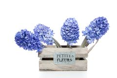 Blue Hyacinths Stock Images